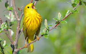Yellow Warbler :: Keith Williams